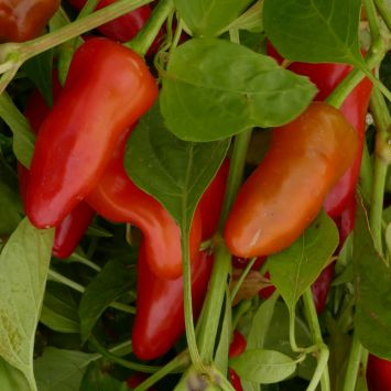 'Pepperino' - Mittelscharfer Gewürz-Paprika