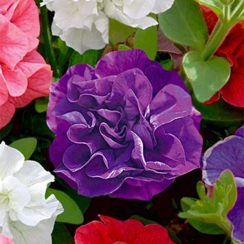 Gefüllte Hänge-Petunie 'Diana', Violettblau
