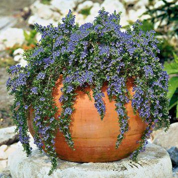 Immergrüner Hänge-Rosmarin 'Violetta'
