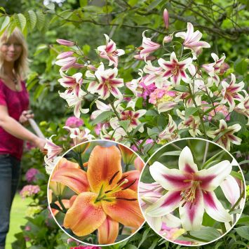 Set-Preis: 4 Riesen Baum Lilien
