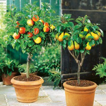 Set-Preis: Zwerg-Obst: 1 x Zwerg-Apfel-Stämmchen & 1 x Zwerg-Birnen-Stämmchen