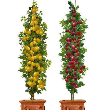 Set-Preis: Säulen-Stachelbeeren: 1 x 'Remarka', dunkelrot & 1 x  'Mucurines', grün