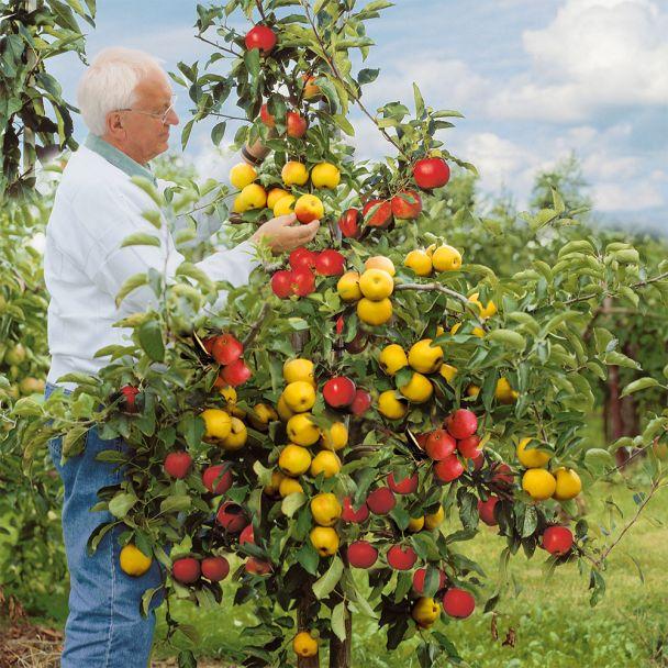 Großvaters Apfelbaum-Duo