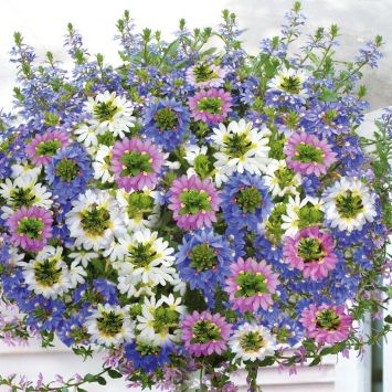 Set-Preis Fächerblumen 3 x 'Brillant', 3 x 'Top poT White' und  3 x 'Topaz Pink'