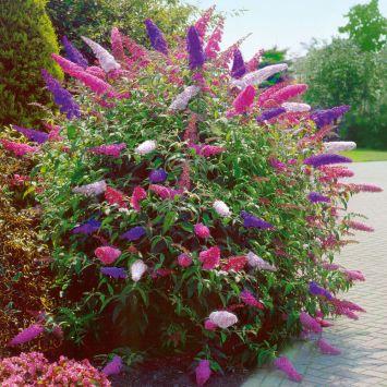 Schmetterlingsflieder 'Tricolor'