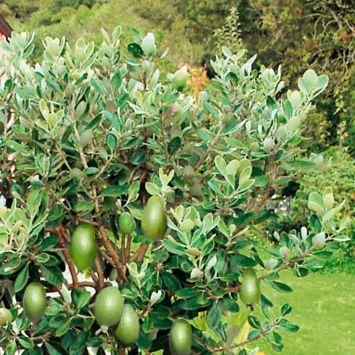 Brasilianische Ananas-Guave Busch