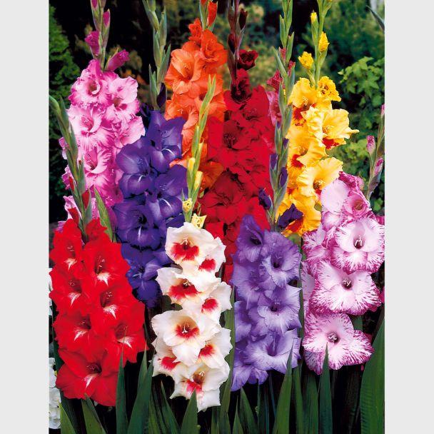 50 Riesen Luxus-Gladiolen 10-12 cm - Blumenzwiebel