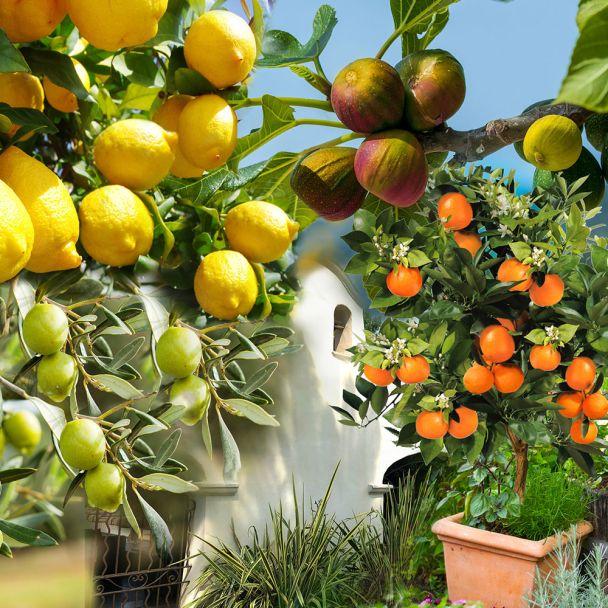 Sparpaket: 1x Orange Palermo, 1x Zitrone Sorrento, 1x Olive Orvieto, 1x Feige Viola