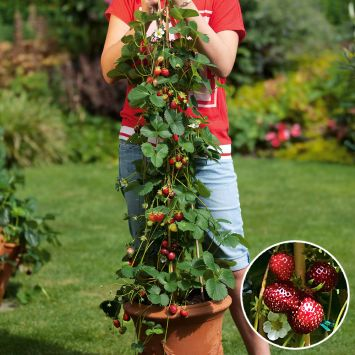 Kletter-Erdbeere Hummi® 'KletterToni'