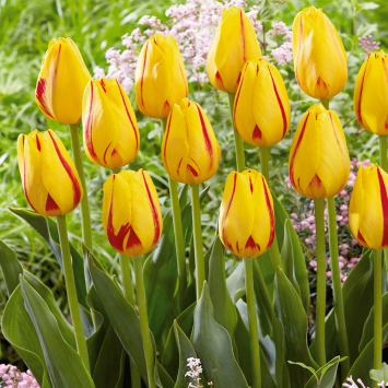 Tulpe Triumph Freedom Flame