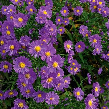 Kissen-Aster lila