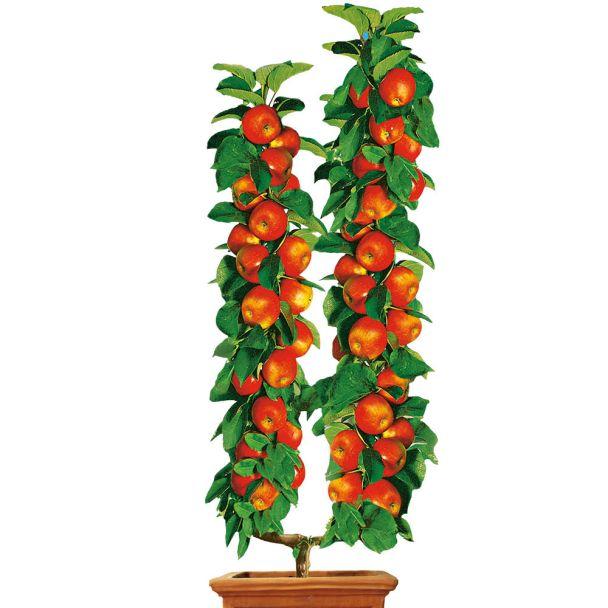 U-Form-Winterapfel 'Cox Orangen-Renette'