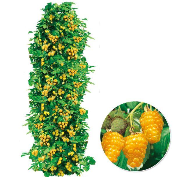 Himbeere TwoTimer® Sugana® 'Gold-Beere'