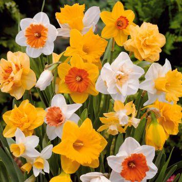 25 Großblumige Narzissen und Osterglocken