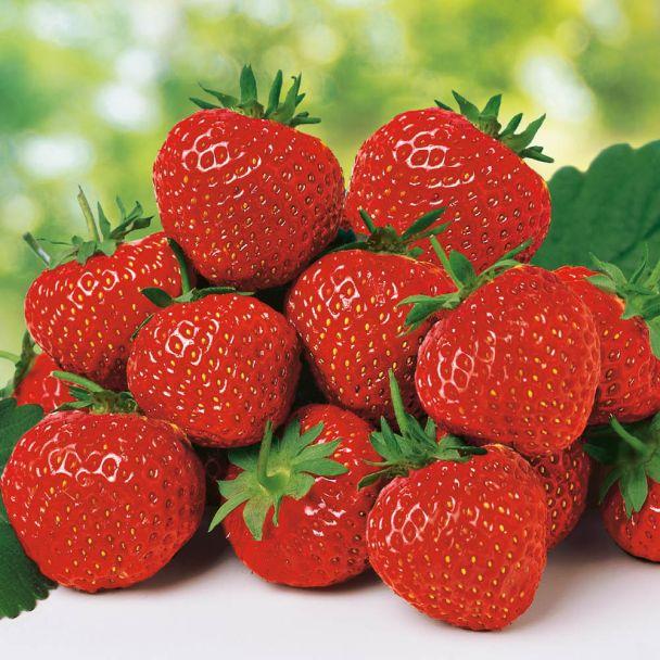 Erdbeere 'Polka', mittelspät Setzlinge