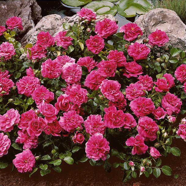 Image result for bodendecker rosen