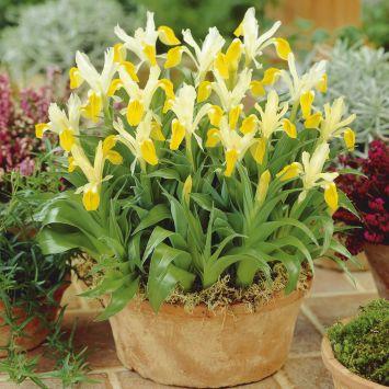 Iris 'Bucharica'