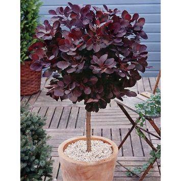 Roter Perückenstrauch 'Royal Purple' Stämmchen