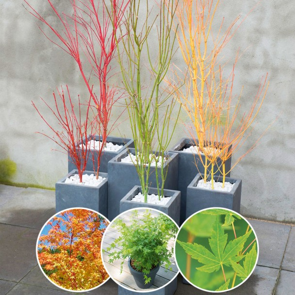 Set-Preis: je 1 x Acer palmatum Sangokaku, Going Green und Bi Hoo