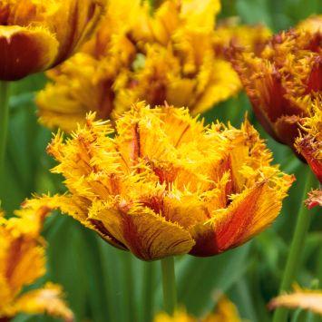 Tulpe Bastia Crispa