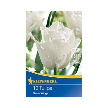 Tulpe 'Swan Wings' - Blumenzwiebel