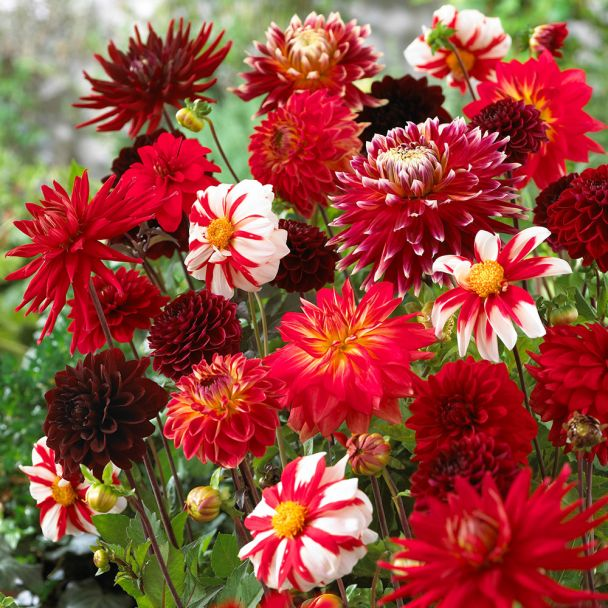 Dahlie Shades of Red