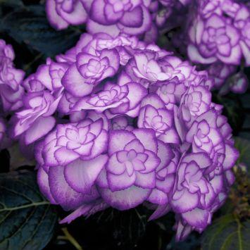 Hortensie 'Miss Saori Blue®'