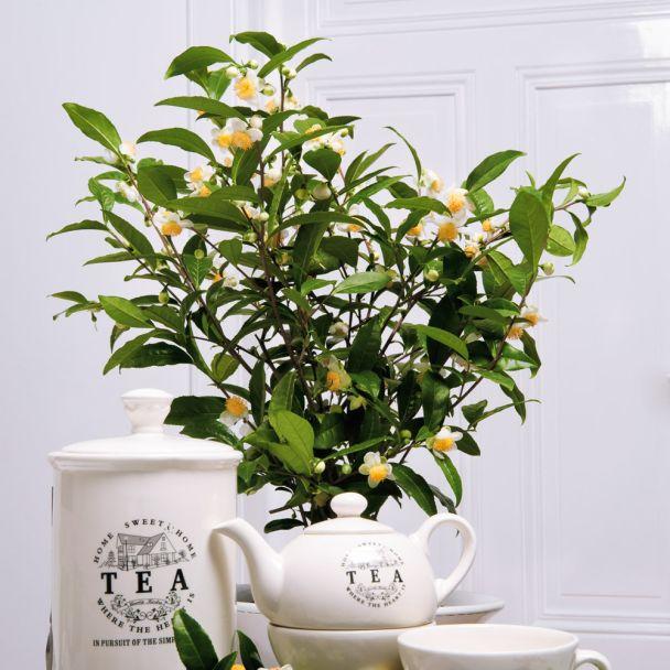 'Green Flower Tea' - Echte China-Grünteepflanze