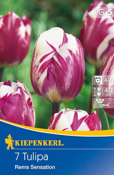 Triumph-Tulpen `Rems Sensation` - Blumenzwiebel