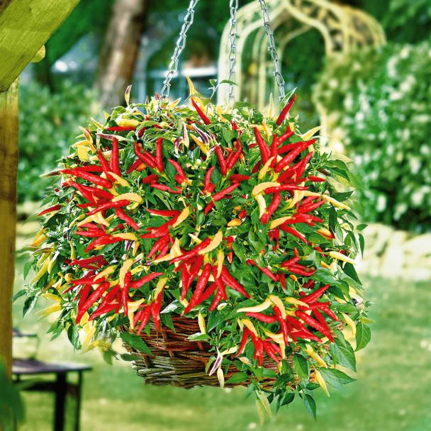 Hänge-Paprika 'Volante®' Hot Red