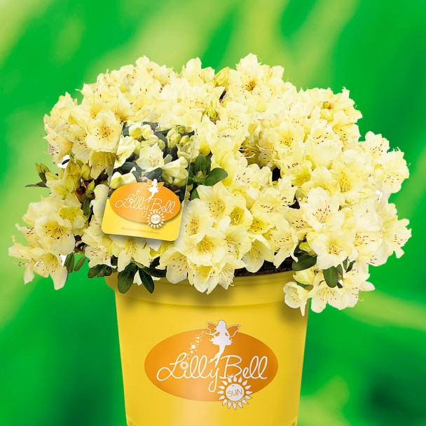 Zwerg-Rhododendron Lilly Bell 'Sun'