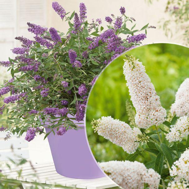 2 Zwergflieder: 'Purple Lion' und 'White Swan'