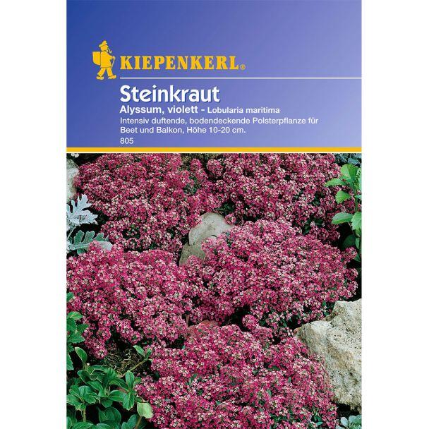 Steinkraut 'Alyssum, violett'