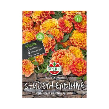 Studentenblume 'SPERLI's Chameleon'