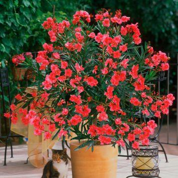 Duft- Oleander, Rot