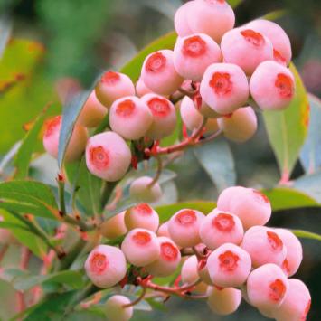 Heidelbeere Pink Bonbons