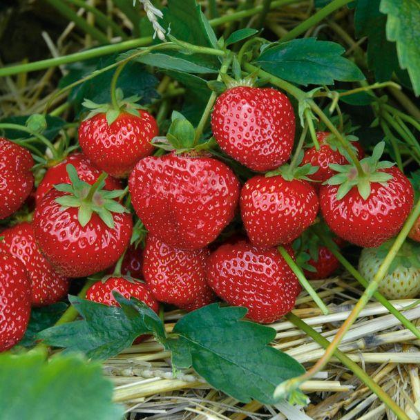 Erdbeere Hummi's® 'Sengana® - Selektion'