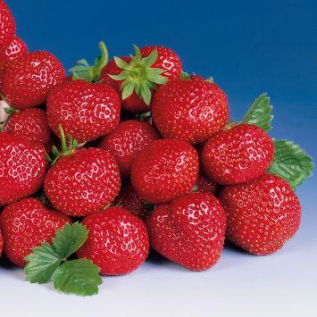 Spät-Erdbeere 'Symphonie', Setzlinge