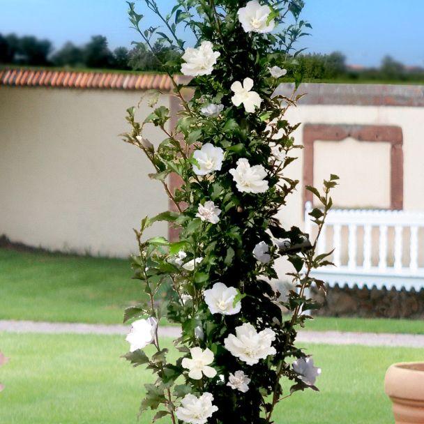 Säulen-Hibiskus 'White Pillar®'