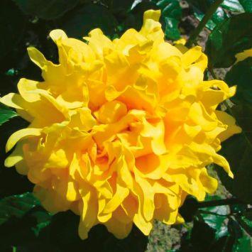 Ruffles Rose Splendid