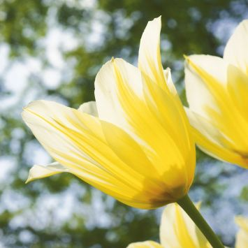 Tulpe Budlight
