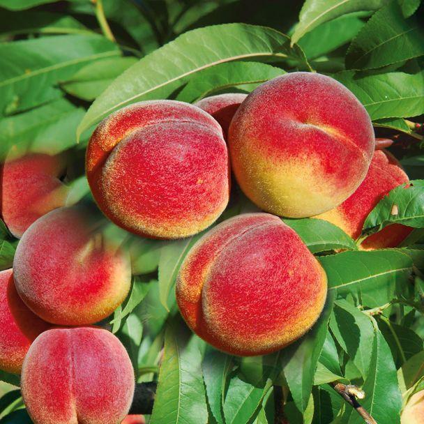 Saft-Pfirsichbaum 'Revita®'