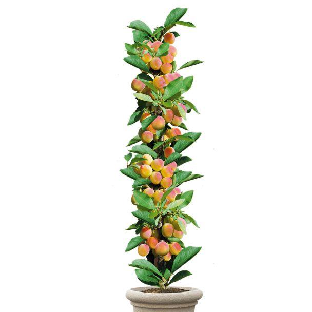 Säulenobstbaum Mirabellen-Aprikose 'Miracose®', einjährig