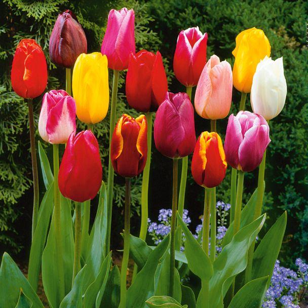50 Edel-Schnitt-Tulpen Harmonie