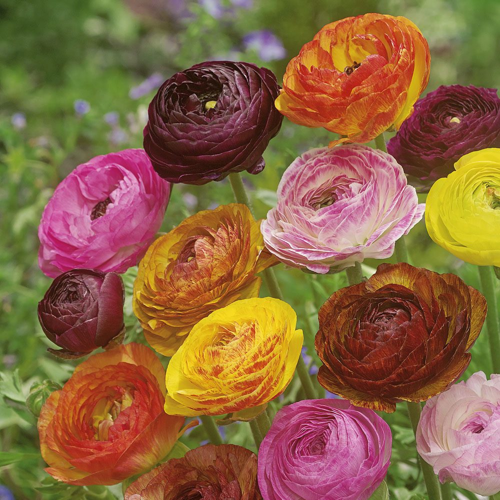 вам первую показать цветок лютик фото плохо сказывается только
