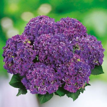 Hortensie 'Curly® Sparkle Blue Purple'