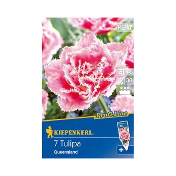 Gefüllte Tulpe `Queensland` - Blumenzwiebel