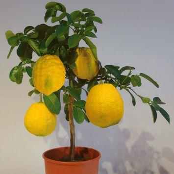 Riesen-Zitrone ZitroMax