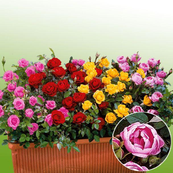 Zwerg-Rosen, rosa