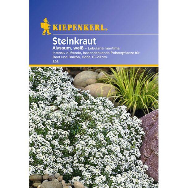 Steinkraut 'Alyssum, weiß'